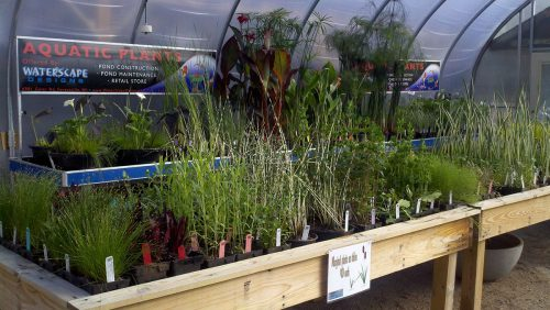 Pond Plants and Supplies at WaterScape Design
